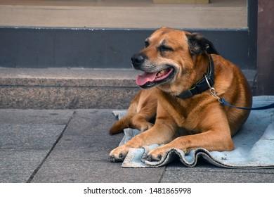 brown hound dog laying on blue blanket on city sidewalk