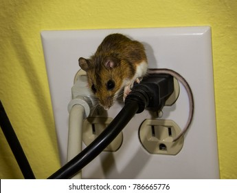 A brown house mouse on top of a black plug in a four plug outlet. This is a semi-side view with both eyes visible and his tail draped over the side of a wire.