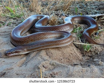 Brown House Snake (Boaedon capensis) - a harmless constrictor.