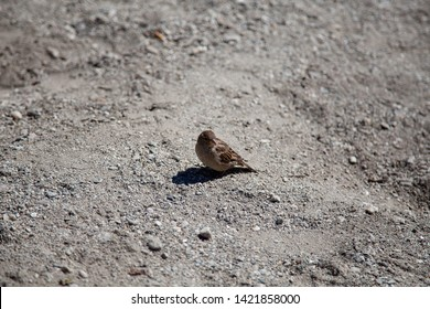 A brown House Sparrow or similar bird sitting on a bland, grey, gravel/sand or earth background. Depth of field is shallow to isolate the bird within a background that blurs out.