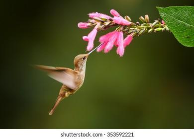 Brown hummingbird Coeligena coeligena  Bronzy Inca hovering and feeding from cluster of purple flowers. Dark green blurred background.