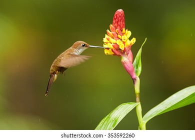 Brown hummingbird Coeligena coeligena  Bronzy Inca hovering and feeding from yellow and red ginger flower in rainy day. Colorful green and brown blurred background.