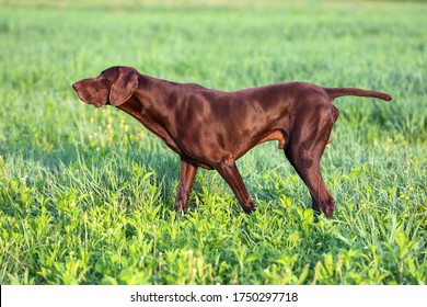 The brown hunting dog. A muscular hound, German Shorthaired Pointer, a thoroughbred, stands among the fields in the grass in the point, sniffed the smell of a wild game. Spring scenery.