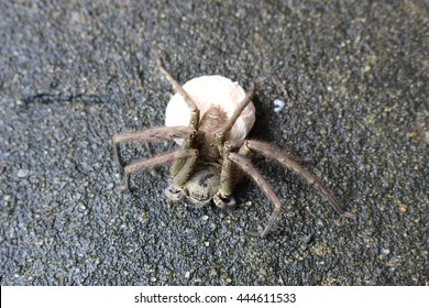Brown huntsman spider carrying a cocoon