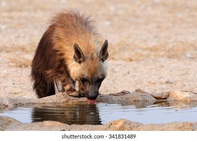 Brown hyaena drinking