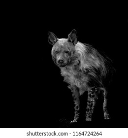 Brown Hyena, black and white hyena