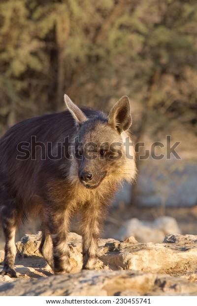 A Brown Hyena (Hyaena brunnea) standing at a waterhole, against a blurred natural background, Kalahari Desert, South Africa