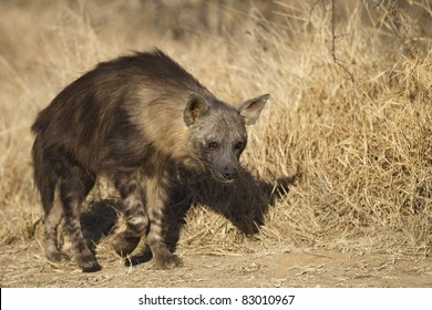 Brown hyena walking by