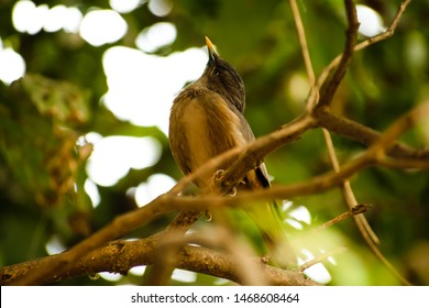 Brown Indian starling sitting on a branch.Green background.