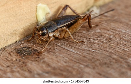 Brown insect Gryllidae on the wall background of Acheta domesticus