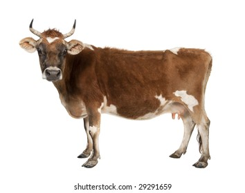 brown Jersey cow (10 years old) in front of a white background