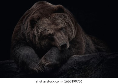 Brown Kamchatka bear (Ursus arctos beringianus) lying on a rock and isolated on a black background. Close-up wild animal portrait. Also known as the far eastern brown bear