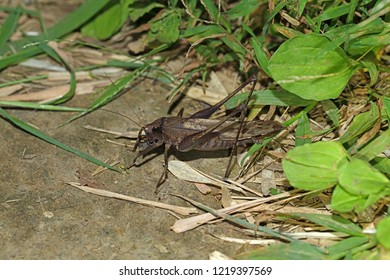 brown katydid bug