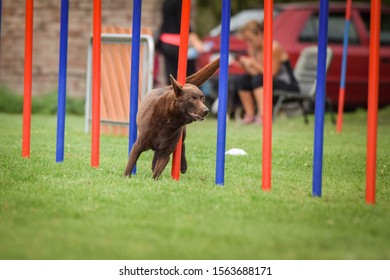 brown Kelpie in agility tunel on Ratenice competition. Amazing day on czech agility competition in town Ratenice it was competition only for large.