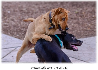 Brown Lab In The Dog Park