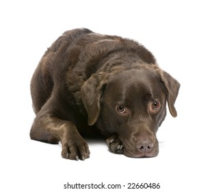 brown Labrador (7 years) in front of a white background