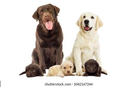 Brown labrador dog looking