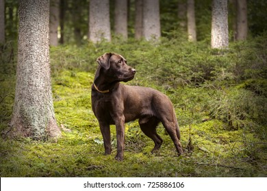 Brown Labrador dog outside in autumal forest