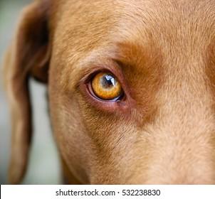 Brown Labrador eye closeup