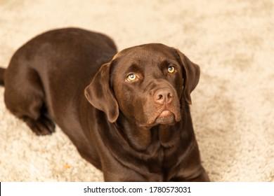 brown labrador in a living room