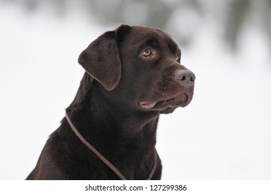 Brown labrador portrait looking to owner outdoor in winter