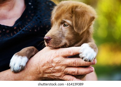 Brown Labrador puppy dog on old woman hand