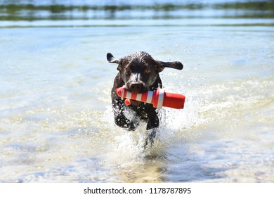 Brown labrador puppy dog runs out the water with his toy playing on a hot summer day swmming cooling down