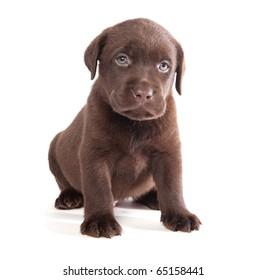 Brown labrador puppy on white ground