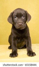 Brown labrador puppy on yellow ground