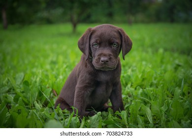 brown labrador puppy is walking on the street