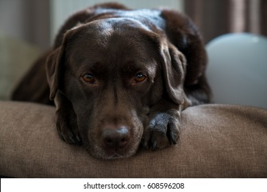 brown labrador is resting on his pillow