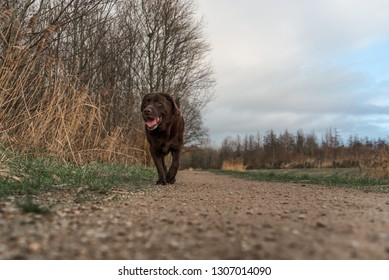 Brown Labrador Retriever dog. in the forest.