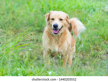 Brown  labrador  retriever  dog  standing  at  the  field  in  the  morning