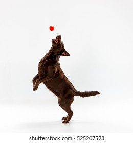 The brown labrador retriever playing on white studio background