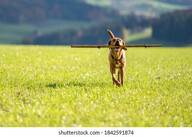 brown labrador retriever running and playing with stick in green field