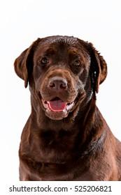 The brown labrador retriever sitting on white studio background