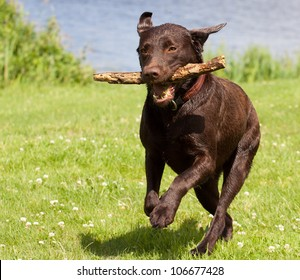 A Brown labrador running with a stick in its mouth in a grass field