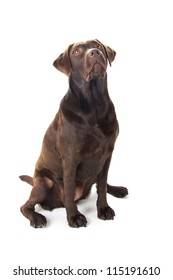 A brown labrador sitting and looking up against a white background