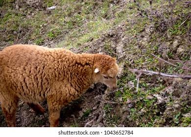 A brown lamb eats grass. The young sheep. The lamb eats the grass.