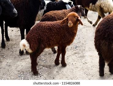 a brown lamb stared into camera in rural
