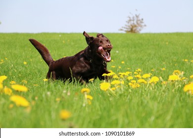 brown larbrador retriever is running on a field with dandelions