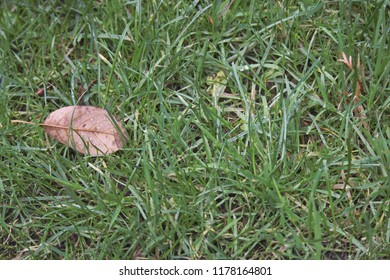 A brown leaf among green grass.