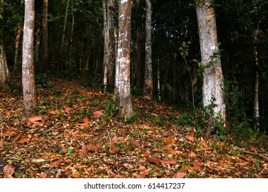 Brown leaf carpet in forest with vertical position of tree trunks, natural background