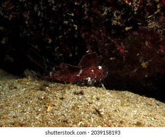 A brown Leaf scorpionfish also known as Paper fish Boracay Philippines