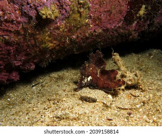 A brown Leaf scorpionfish walking on sand Boracay Philippines
