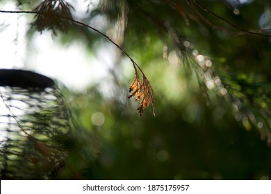 brown leaves hang on a branch of a fern tree