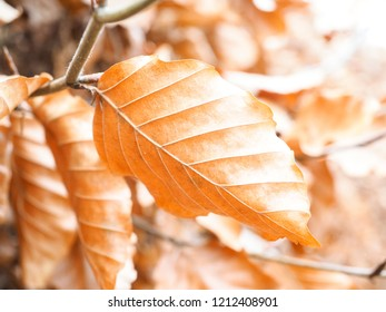 Brown leaves unripe at autumn