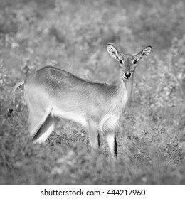 Brown lechwe antelope in lush grass