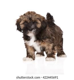 brown lhasa apso puppy on white