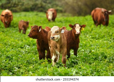 Brown Limousin cow standing in a green field